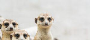 Meerkat7